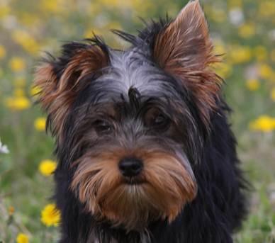 eardog